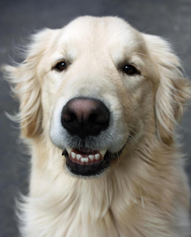 Having a golden retriever as a pet may take too much of a commitment that a child isn't ready for.
