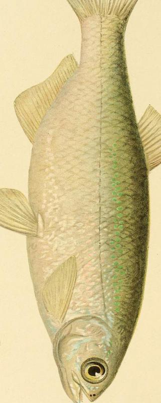 A golden shiner generally has a golden or silvery sheen to its body.