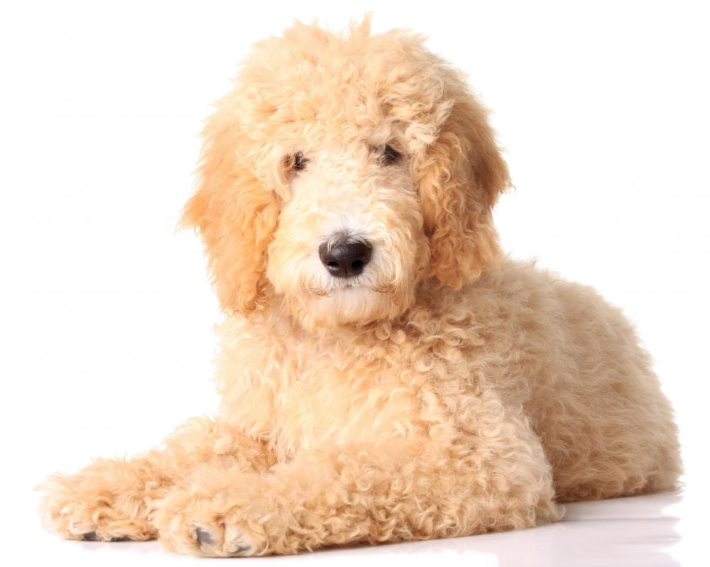 The Goldendoodle is a more recent cross breed that has become popular.