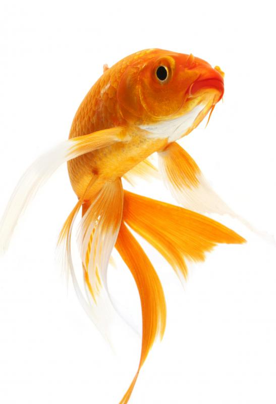 The goldfish is a member of the carp family.