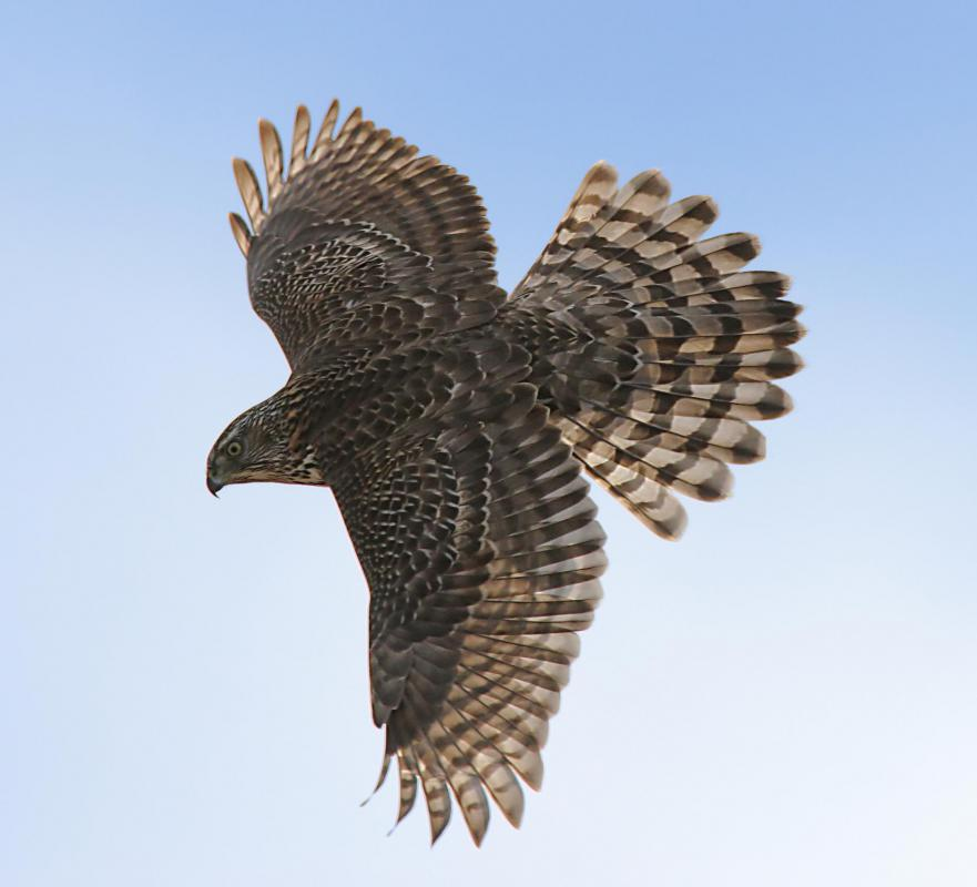 The most common hawk is the goshawk.