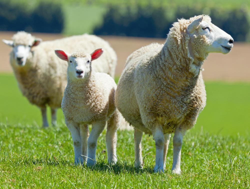 Lanolin is a waxy substance found on sheep's wool.