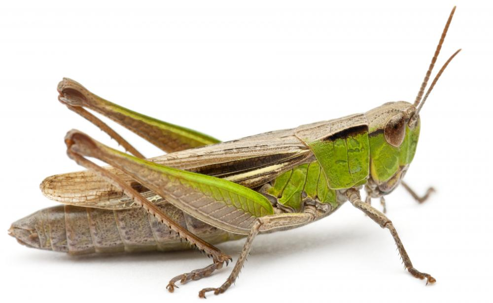 A chameleon's diet includes grasshoppers.