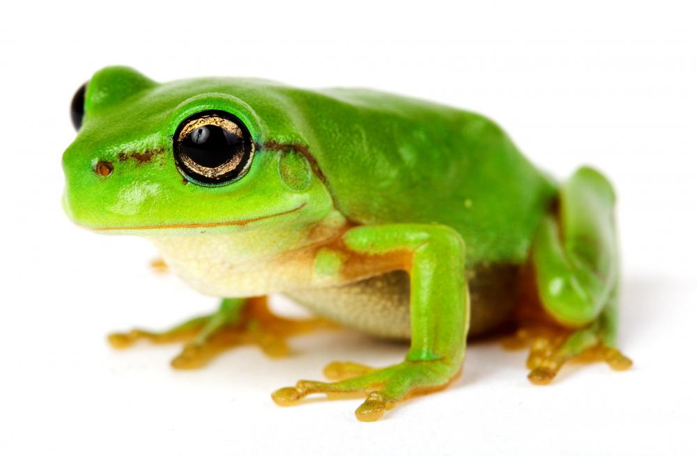 A frog, a type of amphibian.