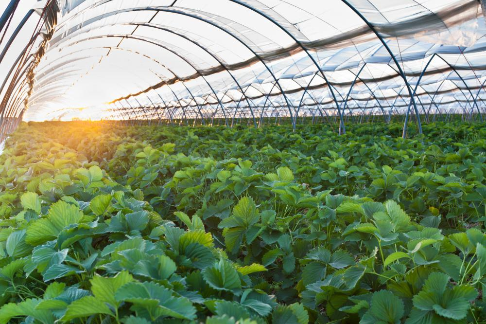 Spray and drip irrigation are efficient ways to water plants in a greenhouse.