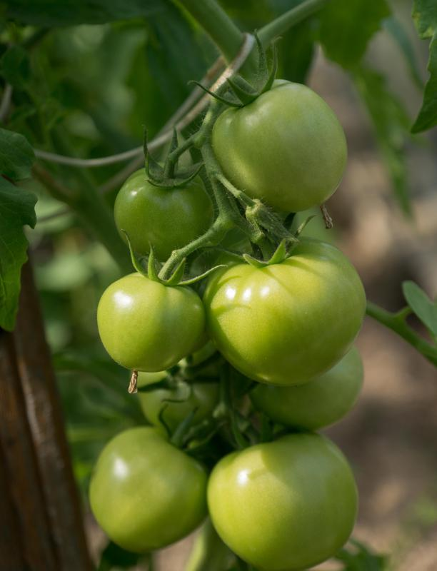 Green tomato salsa is made with unripe tomatoes.