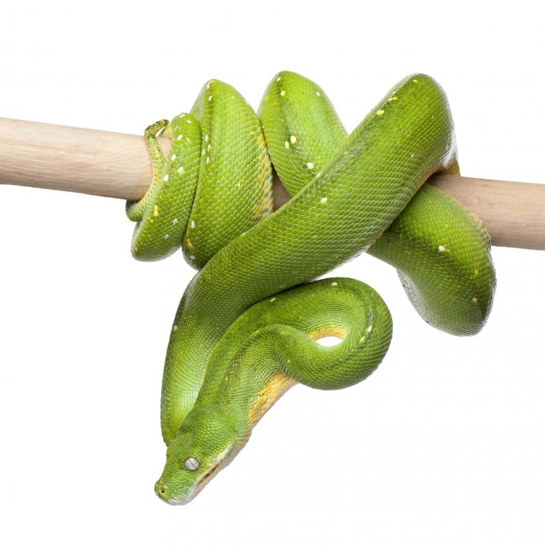 Green tree pythons live in tropical rainforests.