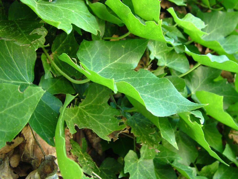 Algerian ivy makes good ground cover.