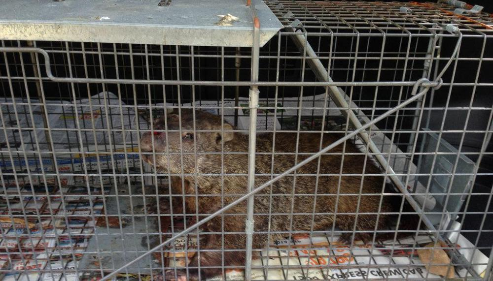 Cages may be used to trap and relocate groundhogs.