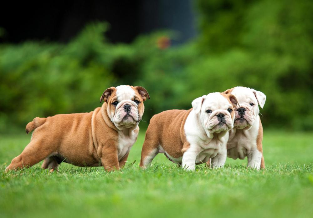 Improper Breeding Has Led To A Number Of Breathing Problems In Bulldogs