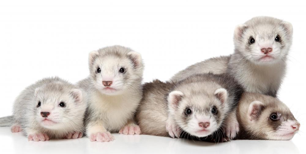 A teacher may have a ferret as a class pet.