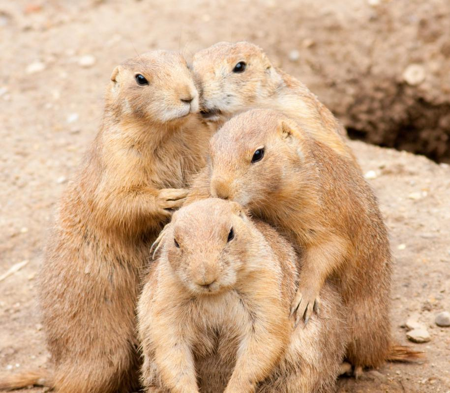 Prairie dogs work cooperatively to spot predators.