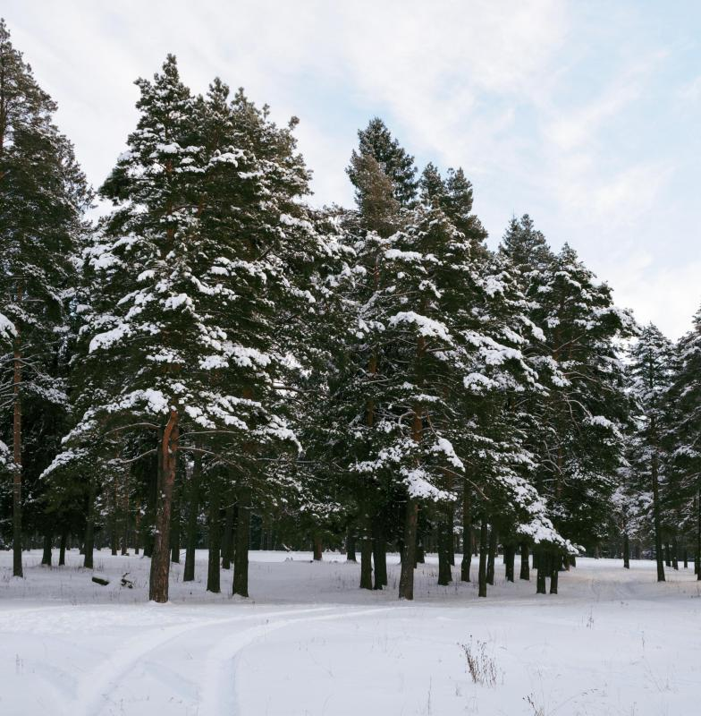 What is the state tree of arkansas with pictures - Images of pine trees in snow ...