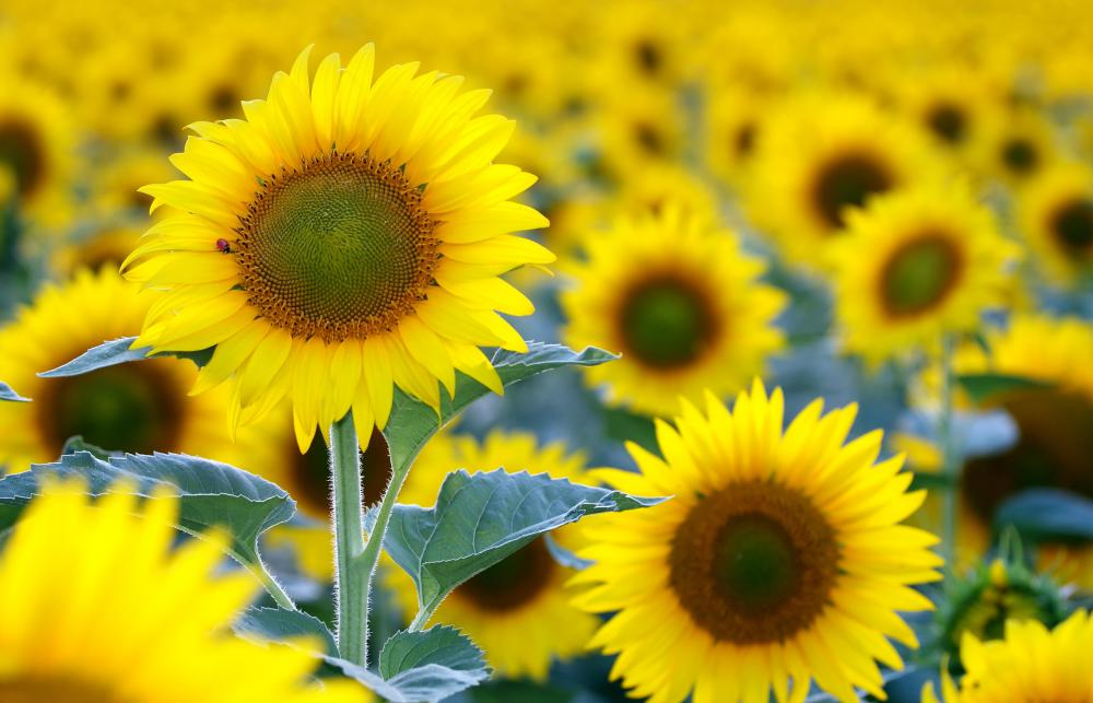 Dicots, a type of angiosperm, include sunflowers.