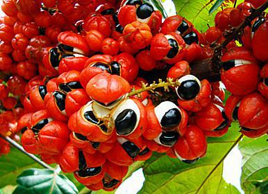 Guarana seed extract is taken from tropical guarana berries.