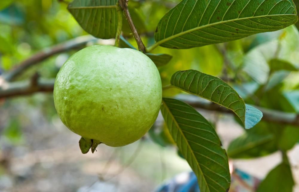 Guava is a popular tropical fruit used in edible landscaping.
