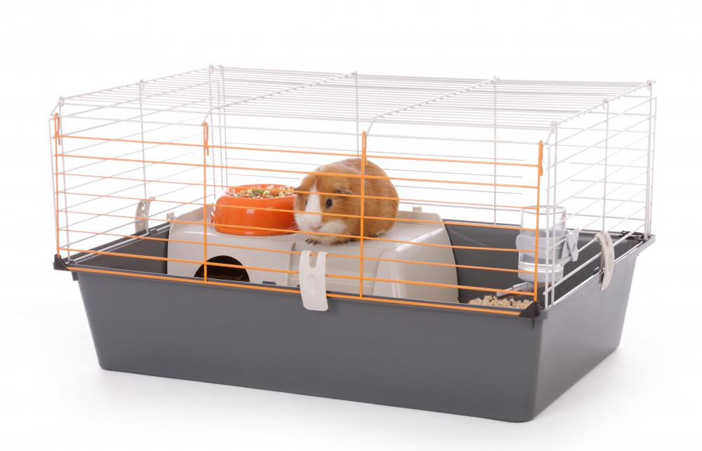 Guinea pigs are typically kept in a cage.