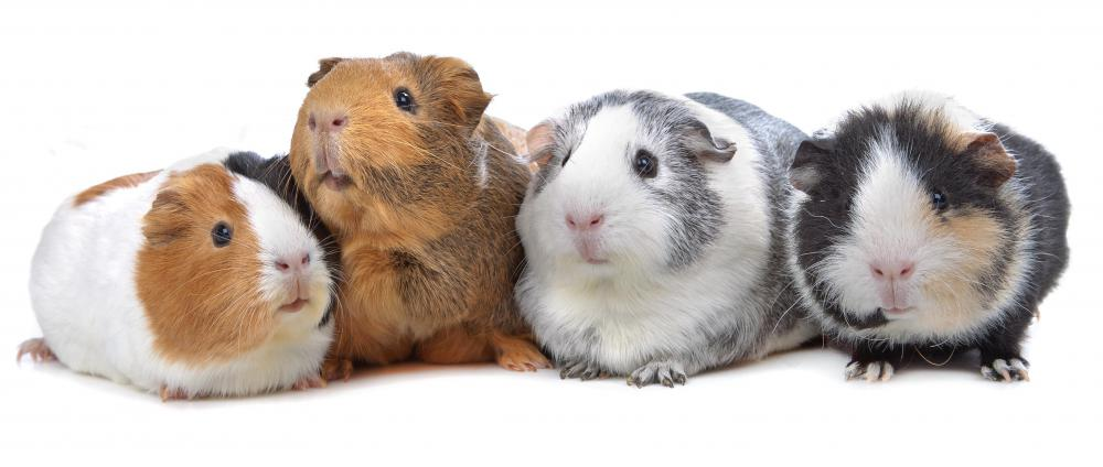 Corrugated plastic may be used to make small pet enclosures for guinea pigs.