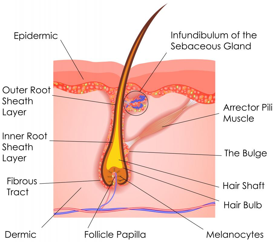 What Is A Hair Follicle With Picture
