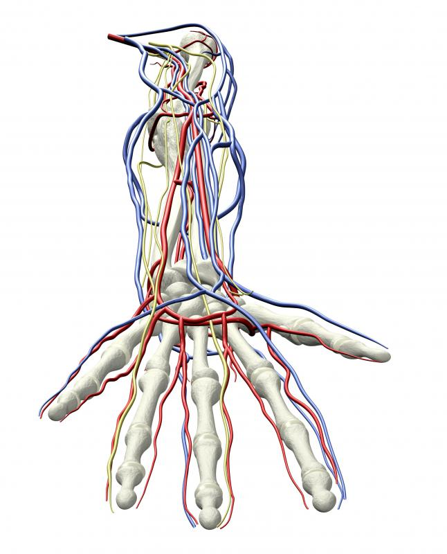 The peripheral veins of the hand are often selected for IV insertion.