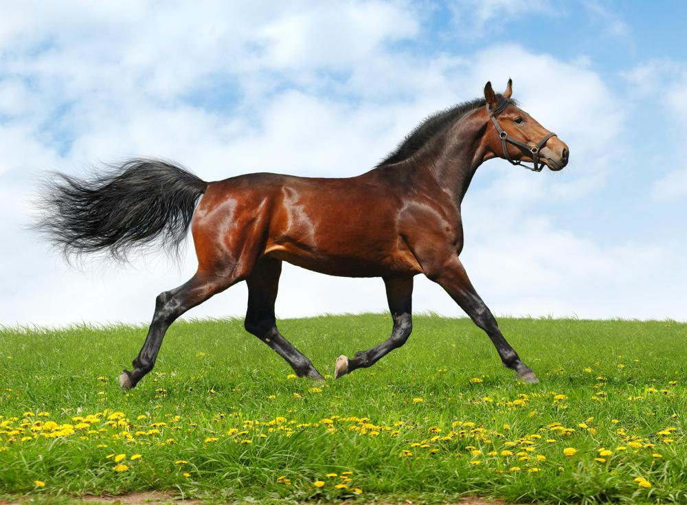 Horse Cantering In A Field What is cantering? (with pictures)