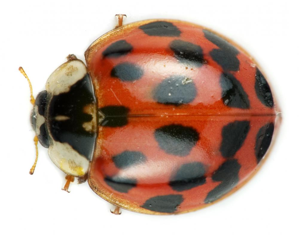 Ladybugs eat aphids, and are sometimes used as a form of pest control.