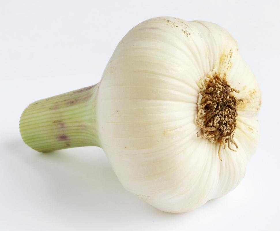 Head of fresh garlic.