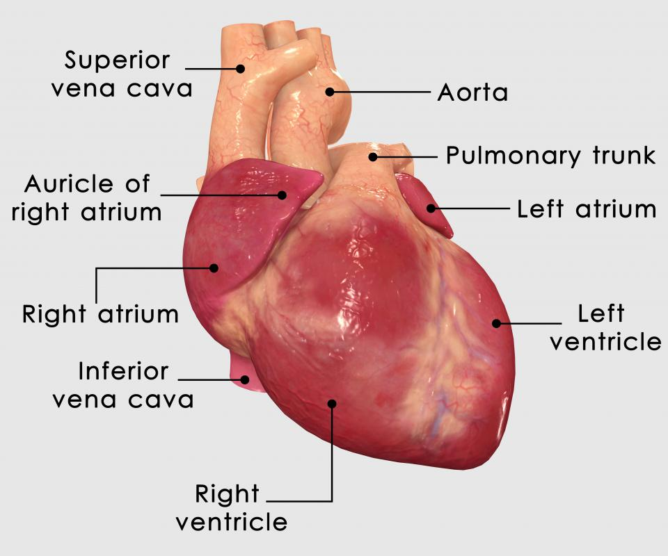 what is the superior vena cava? (with pictures), Human Body