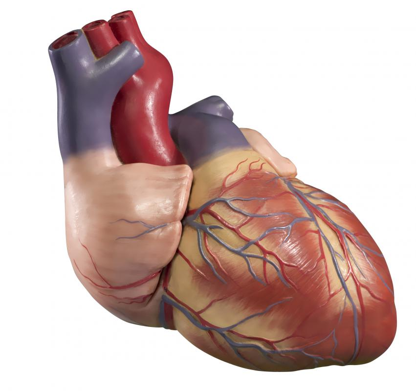 The human heart is made up of four chambers, multiple valves, and cardiac muscle.