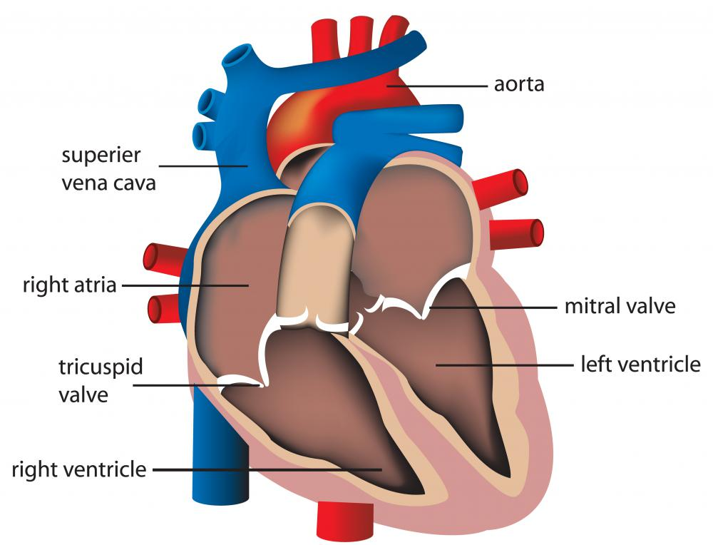 Human heart valves open and contract to control blood flow.