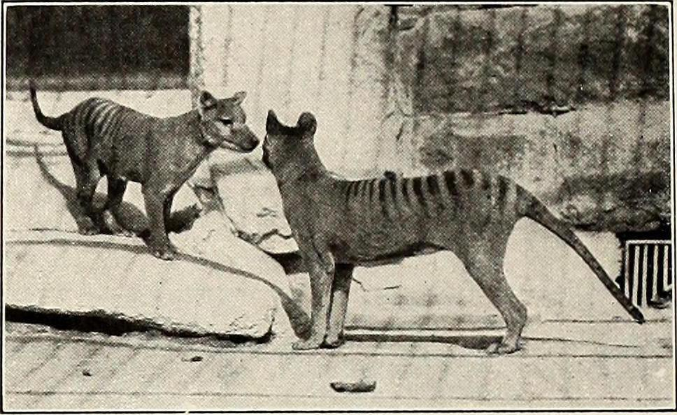 The Tasmanian tiger became extinct during the Holocene.