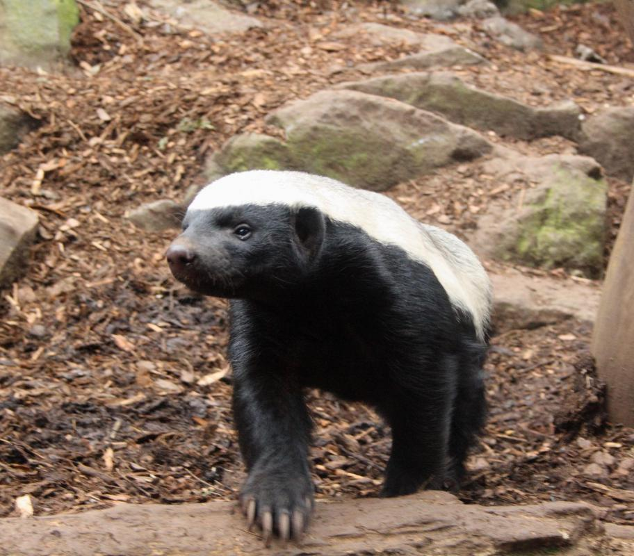 A honey badger is one of the cape cobra's predators.