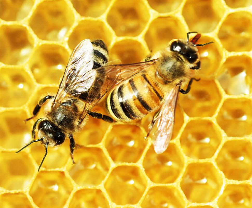 Honey is actually cultivated from bees, which tend to a hive by converting nectar into the honey.
