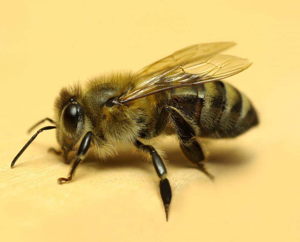Honeybees are beneficial insects.