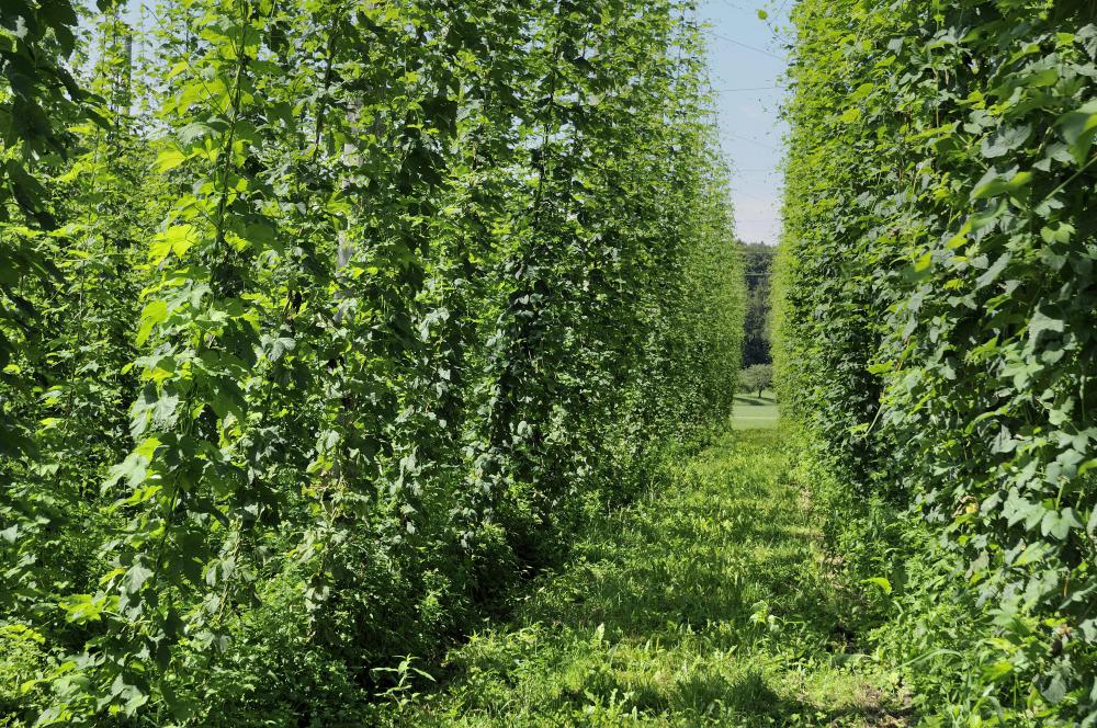 Hops, which are used to make lager.
