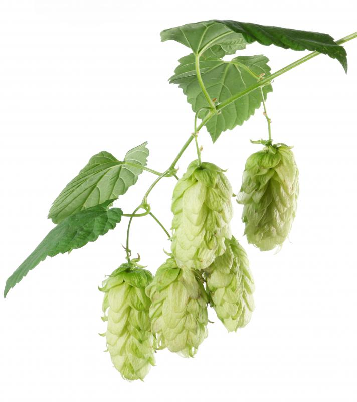 Hops, which are roasted in a kiln for making beer.