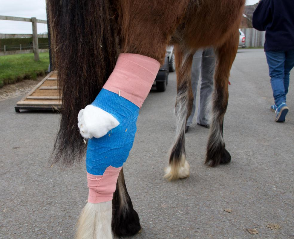 A veterinarian should be called for a severe wound, as they will be able to apply a proper bandage if necessary.