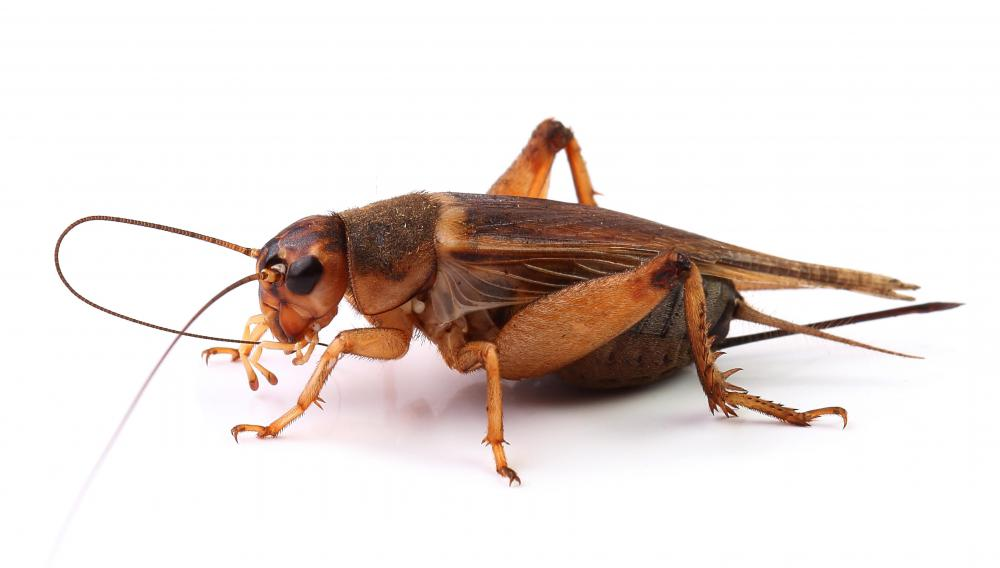 Crickets are often the prey among rainforest species.