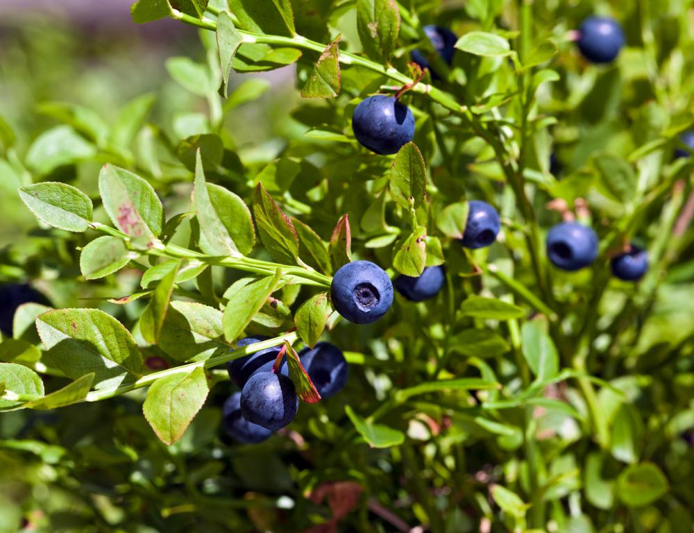 Organic blueberries on the bush.