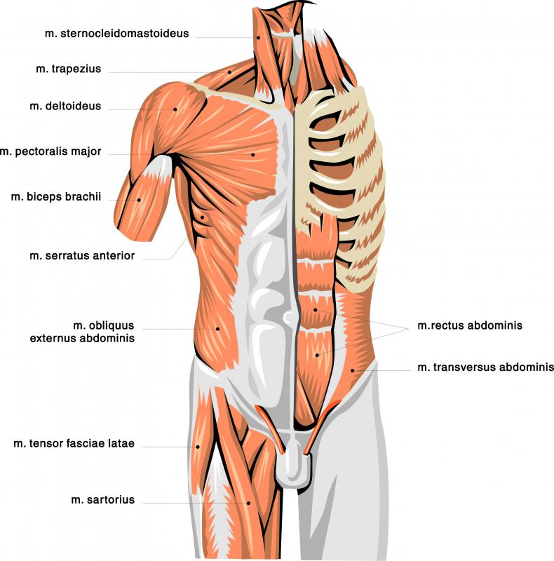 An anatomical illustration showing many muscles in the upper body, including the abdominal muscles.