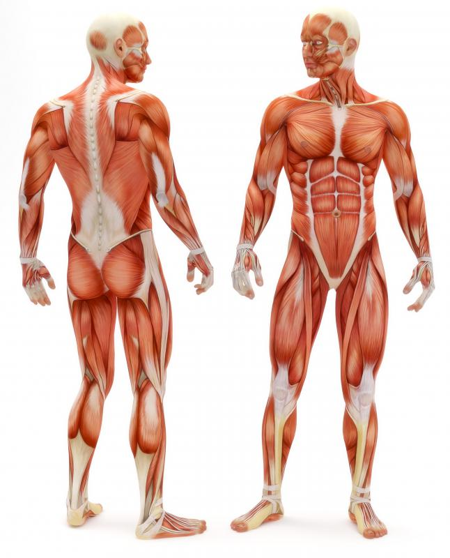 what are involuntary muscles? (with pictures), Muscles