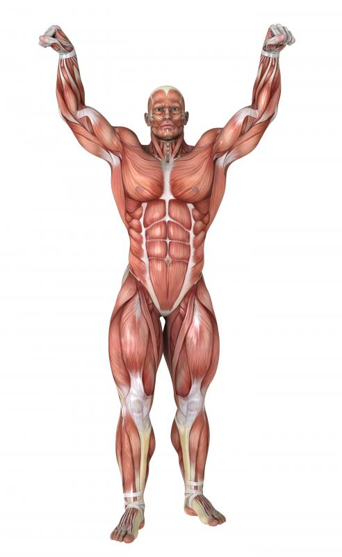 what is the muscular system? (with pictures), Muscles
