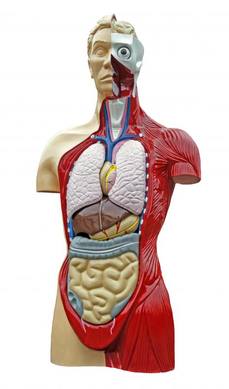 In anatomy, the visible structures of the body are related to their places in larger systems.