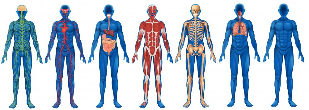 anatomy and physiology of the body Human body organ systems the human body is made up of 11 organ systems that work with one another (interdependantly) these systems include the integumentary system, skeletal system.