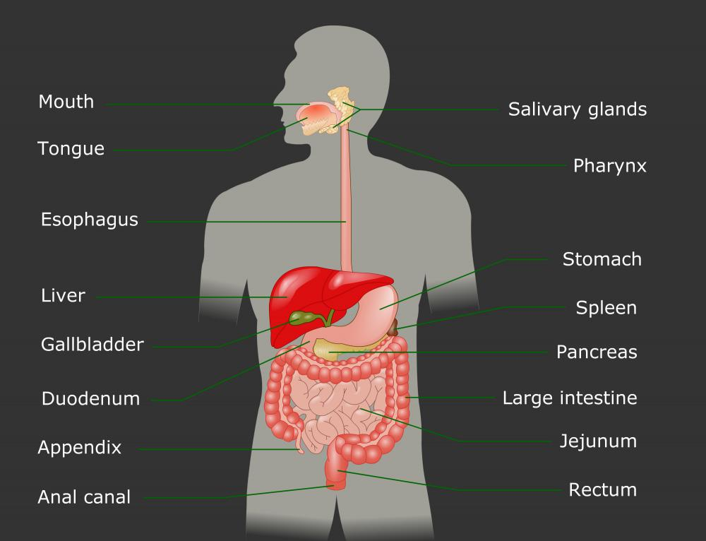 what organ produces salivary amylase The organs produce digestive chemicals (enzymes and acids) that break   saliva contains an enzyme (amylase) that begins the breakdown of  carbohydrates.