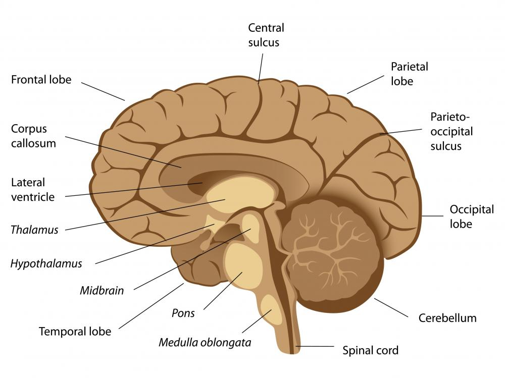 The olfactory bulbs are located just beneath the frontal lobes.
