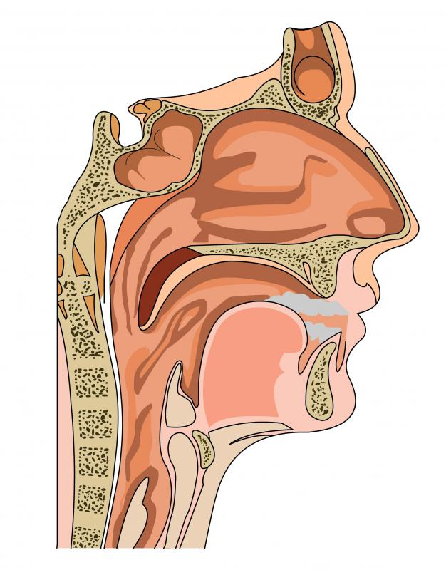 A cross section of the mouth and throat.