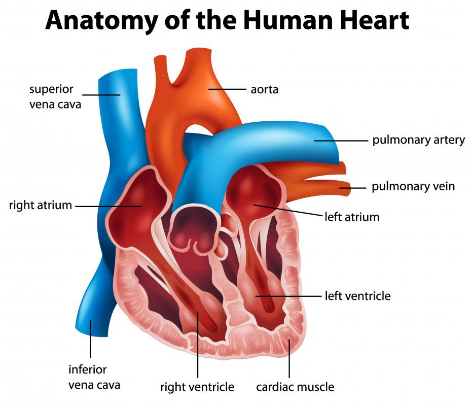 Most people are born with a hole in the heart, called a foramen ovale, which is a communication between right and left atria that typically does not close before birth in most cases.