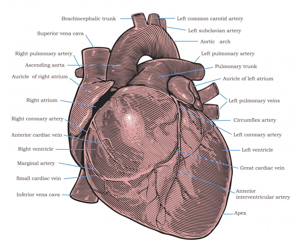The heart is one of the body's most important vital organs.
