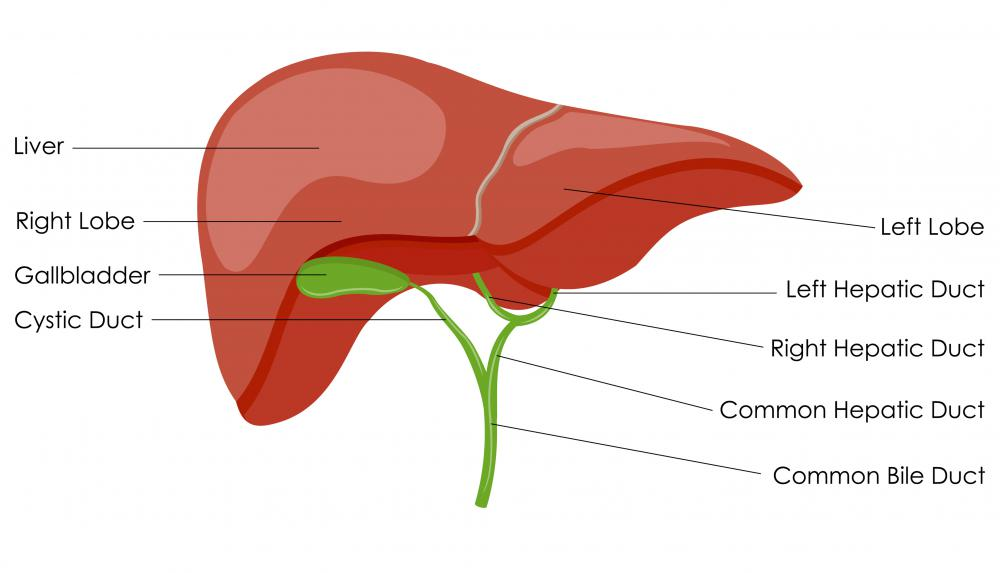the gallbladder is an accessory organ